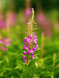 Fireweed (Epilobium Angustifolium) Is One of the First Flowers to Come Up after a Forest Fire Photographic Print by Paul Andrew Lawrence