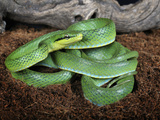 Green Trinket Snake (Elaphe Frenata) Captive Photographic Print by Michael Kern