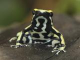 Yellow-Striped Poison Dart Frog (Dendrobates Truncatus), Cauca, Colombia Photographic Print by Thomas Marent