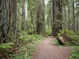Trail Leading Through Prairie Creek Redwoods State Park, California, USA Photographic Print by Tim Hauf