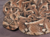 Puff Adder (Bitis Arietans), Captive Photographic Print by Michael Kern
