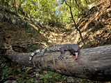 Guatamelan Beaded Lizard (Heloderma Horridum Charlesbogerti), Montagua Valley, Guatemala Photographic Print by Michael Kern