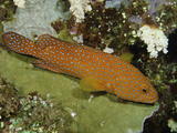 Coral Grouper or Coral Trout (Cephalopholis Miniata), Tubbataha Reef, Philippines Photographic Print by David Fleetham