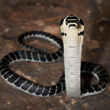 Juvenile King Cobra (Ophiophagus Hannah), Captive Photographic Print by Michael Kern