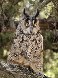 Long-Eared Owl (Asio Otus), Captive Photographic Print by Michael Kern