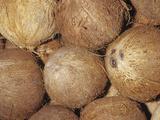 Coconuts (Cocos Nucifera) Photographic Print by Ken Lucas