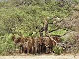 African Bush Elephants (Loxodonta Africana) Huddled under Tree to Avoid Noon Day Sun Photographic Print by Adam Jones