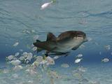 Nurse Shark (Ginglymostoma Cirratum) Swimming Among a School of Juvenile Jacks and a Remora Photographic Print by David Fleetham