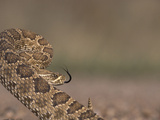 A Prairie Rattlesnake, Crotalus Viridis Viridis, Is Coiled and Ready to Strike Photographic Print by Don Grall