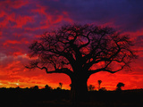 African Baobab Tree (Adansonia Digitata) Silhouetted at Sunset, Tarangire National Park, Tanzania Fotografisk tryk af Adam Jones