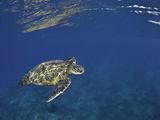 Green Sea Turtle (Chelonia Mydas), an Endangered Species, Hawaii, USA Photographic Print by David Fleetham