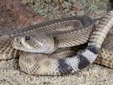 Western Diamondback Rattlesnake (Crotalus Atrox) Photographic Print by Michael Kern