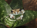 Amazon Milk Frog (Phrynohyas Resinfextrix), Captive Photographic Print by Michael Kern