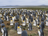 King Penguins (Hptenodytes Patagonica) Photographic Print by John Gerlach