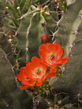 Claret Cup Cactus Flower (Echinocereus Triglochidiatus), Sonoran Desert, Arizona, USA Photographic Print by Don Grall