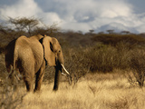 African Bush Elephant (Loxodonta Africana), Samburu Game Reserve, Kenya, Africa Photographic Print by Adam Jones