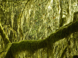 Mosses on Trees in the Hoh Rain Forest, Olympic National Park, Washington, USA Photographic Print by Tim Hauf