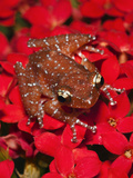 Cinnamon Tree Frog (Nyctixalus Pictus), Borneo Photographic Print by Adam Jones