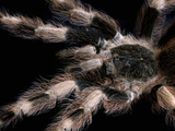 Brazilian Black and White Tarantula (Nhandu Coloratovillosus), Native to Brazil, Captive Photographic Print by Michael Kern
