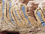Cross-Section of the Mammal Duodenum or Small Intestine Showing Villi and the Intestinal Glands Photographic Print by Richard Kessel