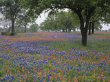 Texas Bluebonnets, Lupinus Texensis, and Texas Paintbrush, Castillejindivisa Photographic Print by Adam Jones