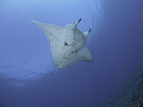 Reef Manta Ray (Manta Alfredi), Hawaii, USA Photographic Print by David Fleetham