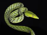 Oriental Whip Snake (Ahaetulla Prasina), Captive Photographic Print by Michael Kern