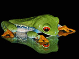 Studio Shot of Red-Eyed Treefrog (Agalychnis Callidryas) Looking at Reflection, Captive Photographic Print by Michael Kern
