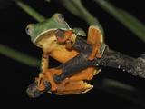 Splendid Leaf Frog (Agalychnis Calcarifer), Siquirres, Costa Rica Photographic Print by Thomas Marent