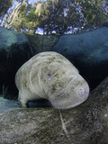 A Young Florida Manatee Peeks over its Mother's Back at Three Sisters Spring in Crystal River Photographic Print by David Fleetham