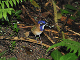 Pitta-Like Ground Roller (Atelornis Pittoides), Masoala National Park, Madagascar Photographic Print by Thomas Marent