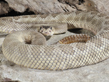Mohave Rattlesnake (Crotalus Scutulatus Scutulatus), Captive Photographic Print by Michael Kern
