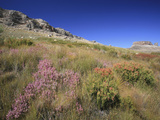 Cederberg Wilderness Fynbos Vegetation, South Africa Photographic Print by Tim Hauf