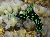 Nudibranch or Sea Slug (Nembrotha Cristata) Crawling over Tunicates, Philippines Photographic Print by David Fleetham