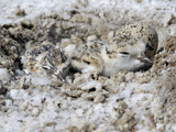 Western Snowy Plover (Charadrius Alexandrinus Nivosus) Chicks Photographic Print by Michael Kern