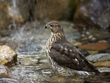 Juvenile Cooper's Hawk (Accipiter Cooperii) Bathing in a Backyard Pool During a Light Rainfall Photographic Print by Don Grall