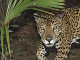 Jaguar (Panthera Onca), Belize Photographie par Thomas Marent
