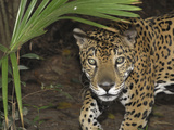 Jaguar (Panthera Onca), Belize Photographic Print by Thomas Marent