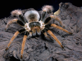 Columbian Giant Tarantula (Megaphobema Robustum), Captive Photographic Print by Michael Kern