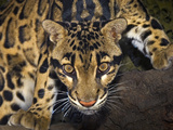 Clouded Leopard (Neofelis Nebulosa), Captive Photographic Print by Michael Kern