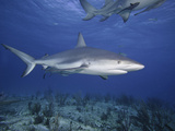 Caribbean Reef Shark (Carcharhinus Perezi), Bahamas, Atlantic Ocean Photographic Print by David Fleetham