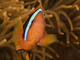 Black or Cinnamon Anemonefish (Amphiprion Melanopus) Near its Host Sea Anemone, Philippines Photographic Print by David Fleetham