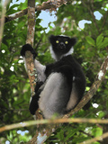 Indri (Indri Indri), the Largest Lemur, Andasibe-Mantadia National Park, Madagascar Photographic Print by Thomas Marent