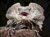 Frilled Dragon (Chlamydosaurus Kingii), Captive Photographic Print by Michael Kern