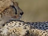Cheetah (Acinonyx Jubatus), Masai Mara Game Reserve the Cheetah Is the World's Fastest Animal Photographic Print by Adam Jones
