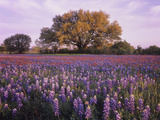 Field of Texas Paintbrush and Texas Bluebonnet Wildflowers and a Live Oak Tree Photographic Print by Adam Jones