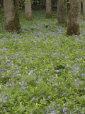 Forest Floor Covered in Phlox and Yellow Trillium Flowers, Great Smoky Mountains National Park Photographic Print by Adam Jones