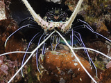 Spiny Lobster (Panulirus Femoristriga), Tubbatah Reef, Philippines Photographic Print by David Fleetham