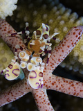 Harlequin Shrimp (Hymenocera Picta) Feeding on a Seastar, Hawaii, USA Photographic Print by David Fleetham