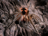 Juvenile Male Blue Bloom Bird Eater Tarantula (Pamphobeteus Nigricolor), Captive Photographic Print by Michael Kern